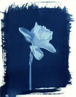 PRINT cyanotype 001 by charlesguerin