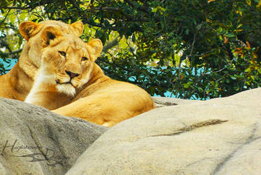 Lions by ravinsilverlock