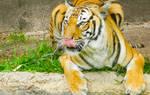 Tiger by ravinsilverlock
