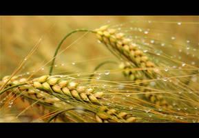 Barley by raido-ehwaz