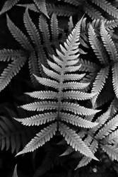 beech fern by raido-ehwaz