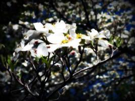 Dogwood Flower by path2000