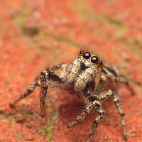 Rover the Jumping Spider II by snomanda