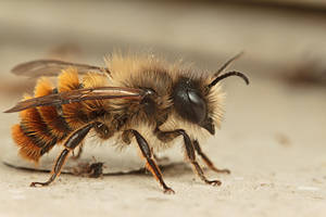 Mining Bee by snomanda