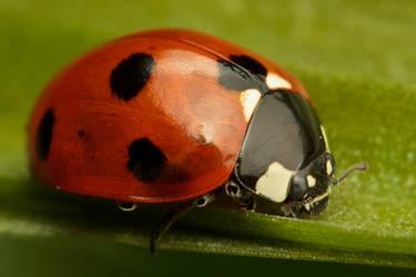 Blade Running Ladybug by snomanda