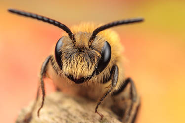 Solitary Bee by snomanda