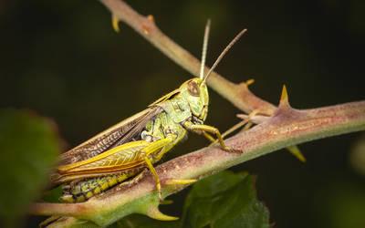 Grasshopper by snomanda