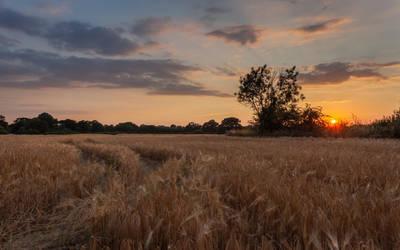 Barley by snomanda