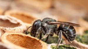 Blue Mason Bee by snomanda