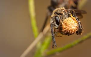 Sweat Bee by snomanda