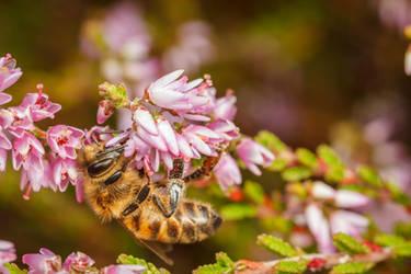 Honey Bee by snomanda