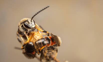 Sweat Bees by snomanda