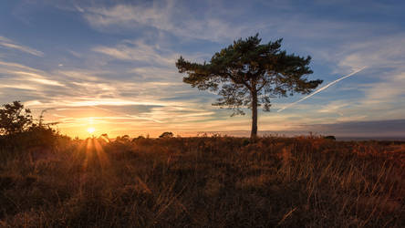 Pine by snomanda