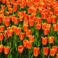 Ruby Tulips by KrisVlad