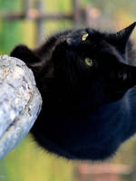 black cat by pyla