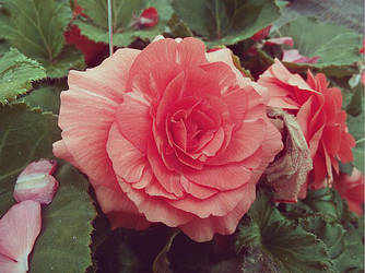 Roses by mkmkmkzzzz