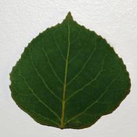Small Green Aspen Leaf 1 by AgustinGoba