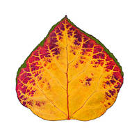 Green Red and Yellow Aspen Leaf 1 by AgustinGoba
