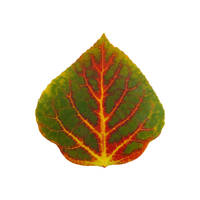 Green Red and Yellow Aspen Leaf 4 by AgustinGoba