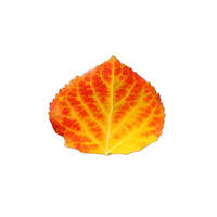 Red and Yellow Aspen Leaf 1.SM by AgustinGoba