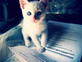 white kitten by retouchedd