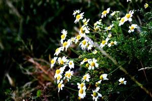 White Flowers by smrzy