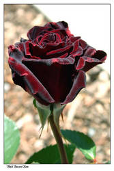 Black Baccara rose by little-faerie-bits