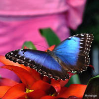 Papillon bleu si bleu by hyneige