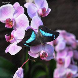 En turquoise sur orchidee by hyneige