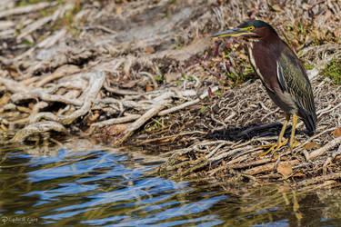 Lakeside green heron by CyclicalCore