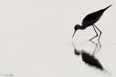 Black-winged stilt in reflection by CyclicalCore
