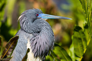 Ruffled tricolored heron by CyclicalCore