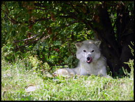 Gray Wolf 1 by FoldedWilderness