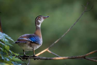 Perched Wood Duck by FoldedWilderness