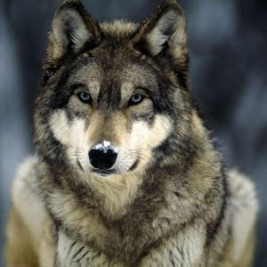 Sable-The-Wolf's Profile Picture