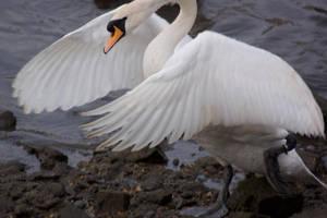 swan spreading wings 2 by LubelleCreativeSpark