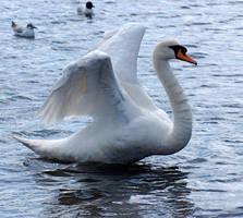 swan spreading wings 6 by LubelleCreativeSpark