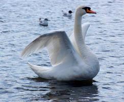 swan spreading wings 7 by LubelleCreativeSpark