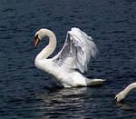 swan spreading wings stk by LubelleCreativeSpark