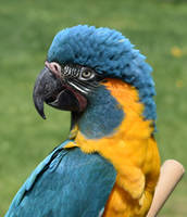 Blue-throated Macaw by kiniamew