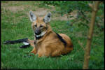 Maned Wolf by amrodel