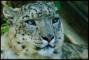 Snow Leopard Close-Up by amrodel