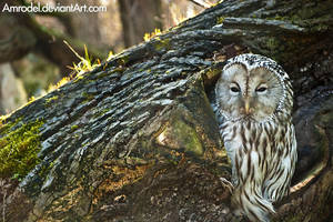 Ural Owl by amrodel