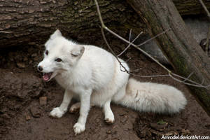 Arctic Fox by amrodel