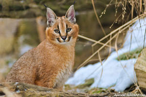 Little Caracal by amrodel