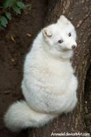 Arctic Fox III by amrodel