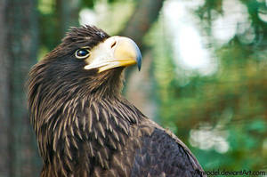 Sea Eagle II by amrodel