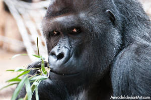 Hungry Gorilla by amrodel