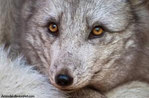 Arctic Fox in Detail by amrodel