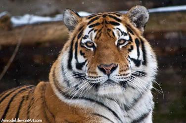 Winter Tiger by amrodel